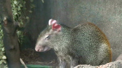 Common agouti, close-up Stock Footage