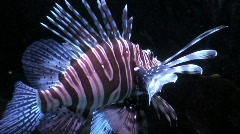 Lionfish (Pterois volitans) two, close-up Stock Footage
