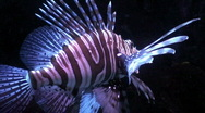 Stock Video Footage of Lionfish (Pterois volitans) two, close-up