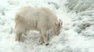 Mountain goat baby on a slope at winter Stock Footage