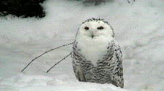 Female snowy owl two (Bubo scandiacus) at winter Stock Footage