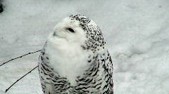 Female snowy owl (Bubo scandiacus) at winter Stock Footage