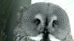 Great gray owl (Strix nebulosa) close-up - stock footage