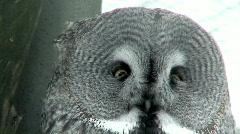 Great gray owl (Strix nebulosa) close-up Stock Footage