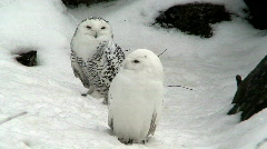 Two snowy owls (Bubo scandiacus) at winter Stock Footage