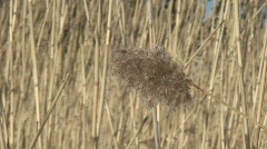 Dry reed at winter one Stock Footage
