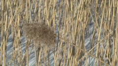 Dry reed at winter three Stock Footage