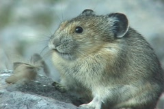Pika Meal Stock Footage