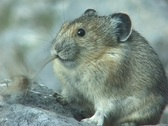 Stock Video Footage of Pika Meal