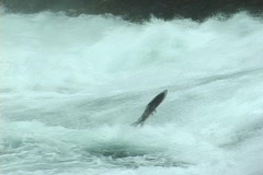 Salmon Leap Stock Footage