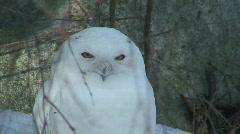 Male snowy owl (Bubo scandiacus) in winter Stock Footage