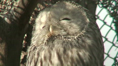 Great gray owl three (Strix nebulosa) close-up - stock footage
