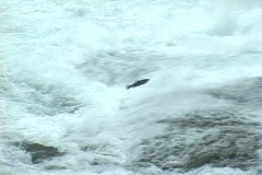 Salmon Double Leap Stock Footage