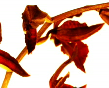 Orchid blossom time lapse (PAL) Stock Footage