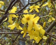 Forsythia suspensa - close up Stock Footage