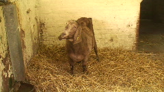 Zoom in of rare breed goat. HD 1080i Stock Footage