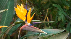 Bird of Paradise (Strelitzia reginae) flower  Stock Footage