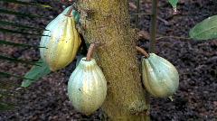 Cacao tree (Theobroma Cacao) fruits Stock Footage