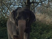Stock Video Footage of Indian Elephant