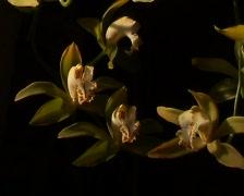 Large Flowered Cymbidium (Cymbidium Grandiflorum) Stock Footage