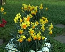 Daffodil arrangement Stock Footage