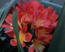 Stock Video Footage of Clivia Lily - Clivia miniata (Lindl) Bosse