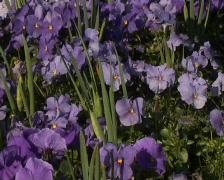 Pansies arrangement - stock footage
