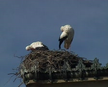 Black stork's (Ciconia nigra) nest Stock Footage
