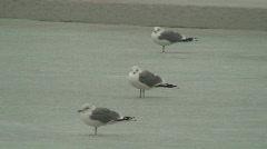 Three freezing seagulls on trash-ice Stock Footage