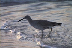 Willet Sandpiper at dusk Stock Footage