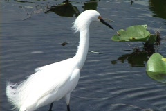 Snowy Egret at the Florida Everglades Stock Footage