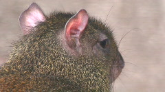 Common agouti three, close-up Stock Footage