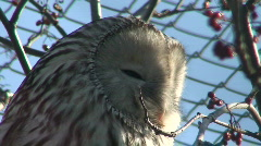 Great gray owl four (Strix nebulosa) - stock footage