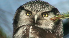 Northern Hawk Owl (Surnia ulula) one Stock Footage