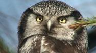 Northern Hawk Owl (Surnia ulula) one Stock Footage
