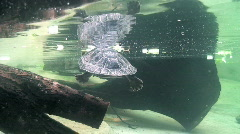 Two turttles underwater Stock Footage