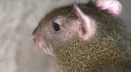 Common agouti two, close-up Stock Footage