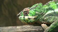 Veiled Chameleon (Chamaekeo calyptratus) six Stock Footage