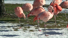 Flamingo (Phoenicopteridae phoenicopterus) in winter on Stock Footage