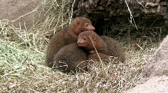 Mongooses family four, close-up Stock Footage