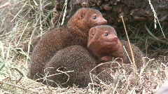 Mongooses family five, close-up Stock Footage