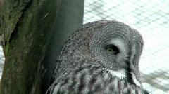 Great gray owl (Strix nebulosa) two - stock footage