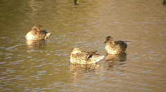 Three Ducks Cleaning Themselves In Water (High Definition) Stock Footage