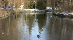 Ducks Swimming In Park River (High Definition) Stock Footage