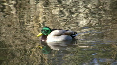 Male Duck Swimming (High Definition) Stock Footage