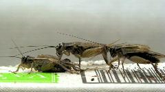 House crickets (Acheta domesticus) on paper box on Stock Footage