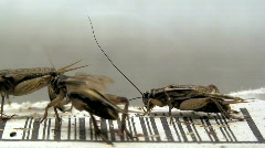 House crickets (Acheta domesticus) two Stock Footage