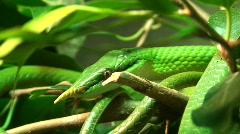 Vietnamese longnose snake (Rhynchophis Boulenger) Stock Footage
