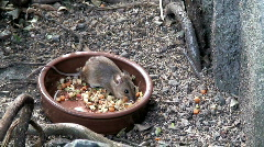 Mouse feeding one Stock Footage
