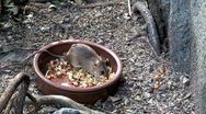 Stock Video Footage of Mouse feeding one